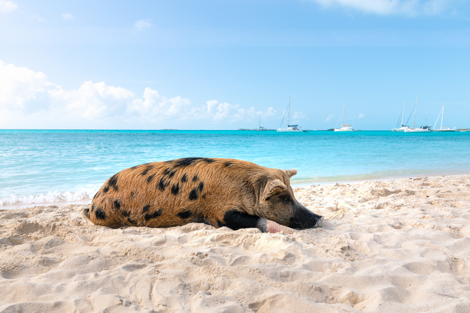 How to visit the Exuma Pigs at Swimming Pig Beach