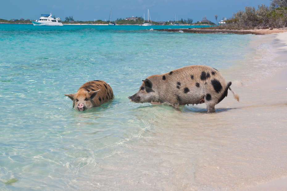 Exuma pigs wade in the water at Pig Beach. An Exuma pigs tour has become a popular attraction in the Bahamas.