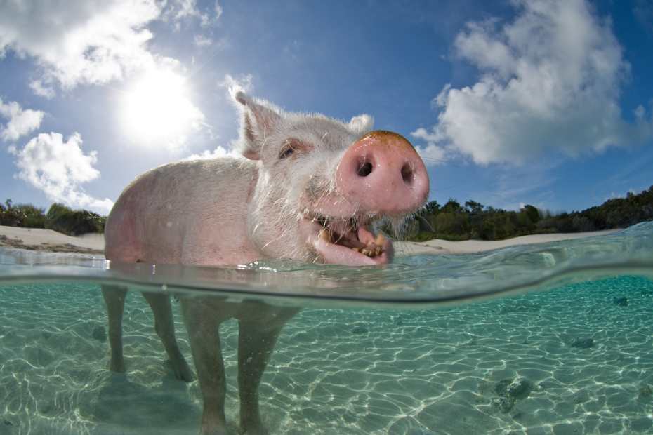 Waiting to be fed on Pig Island (Big Major Cay). A Pig Beach Exuma day trip to see the swimming pigs Bahamas.