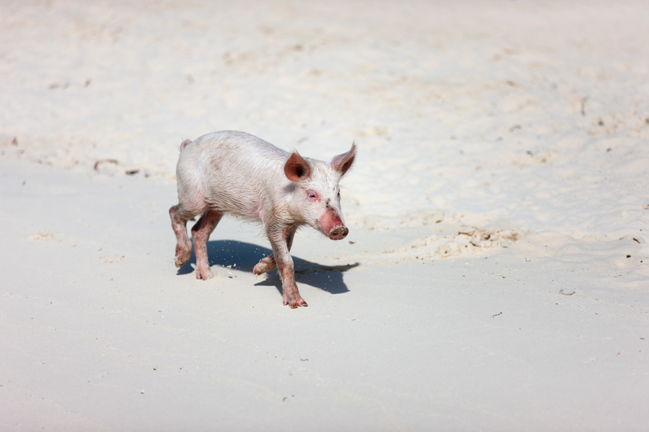 Little piglet graces the beach on Pig Island (Big Major Cay). Pig Island tour running from Nassau and Florida a part of your Bahamas vacation.