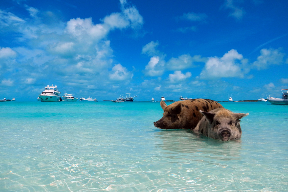 Take a Bahamas Pig Island Tour to go Swimming with Pigs