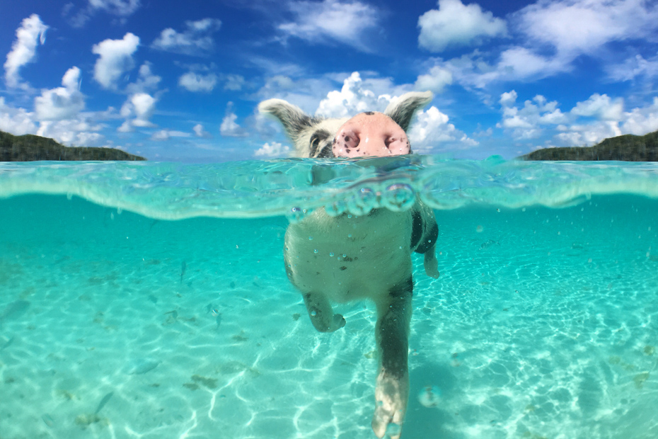 Keep your head afloat on a swimming pigs tour to Big Major Cay (Pig Island). Pig Beach tours always flood the beach but with Bahamas Air Tours you can beat the rush.