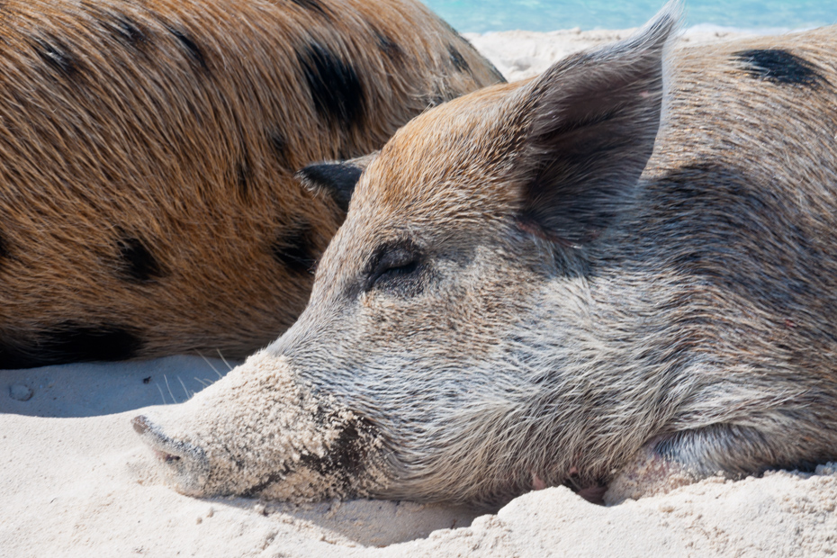 Take a swimming pigs tour to Pig Beach on your Bahamas vacation. Pig Island (Big Major Cay) is always busy with swimming pigs tours to Pig Beach.