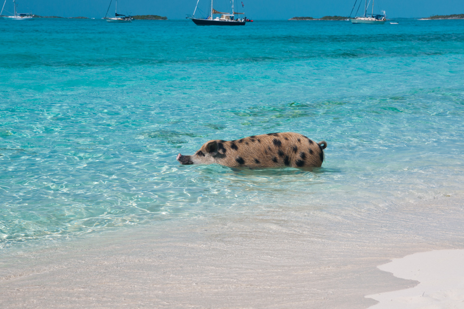 Go swimming with pigs in the Bahamas! Take a Pig Beach tour and see these guys on your Pig Island tour.