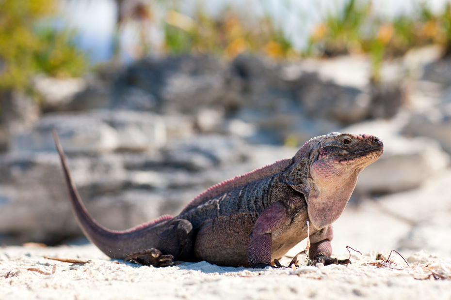 A Northern Bahamian Rock Iguana which is endangered. Go to Little Guana Cay and all the other things to do in Staniel Cay Exuma day trips.
