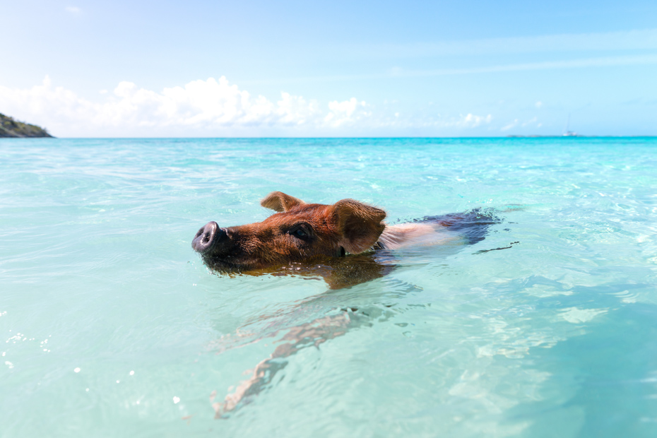 A Bahamas swimming pig stays afloat at Big Major Cay. Atlantis Paradise Island offers excursions to Pig Island to go swimming with pigs.