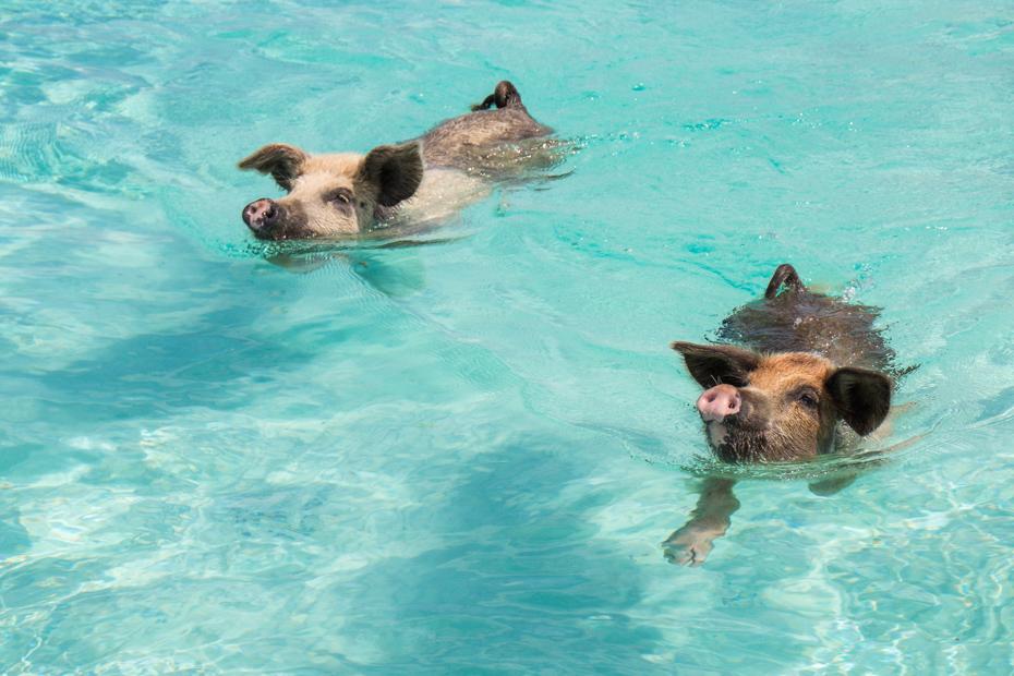 Bahamas swimming pigs at Pig Island. One of best things to do in Orlando Florida is take a Bahamas day trip to Pigs Beach