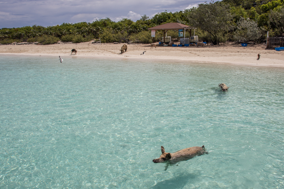 Pigs swim out to be fed at Big Major Cay. Visitors learn how to get to Exuma Pigs Beach and Pig Island so they can enjoy their day trip to Bahamas vacation.