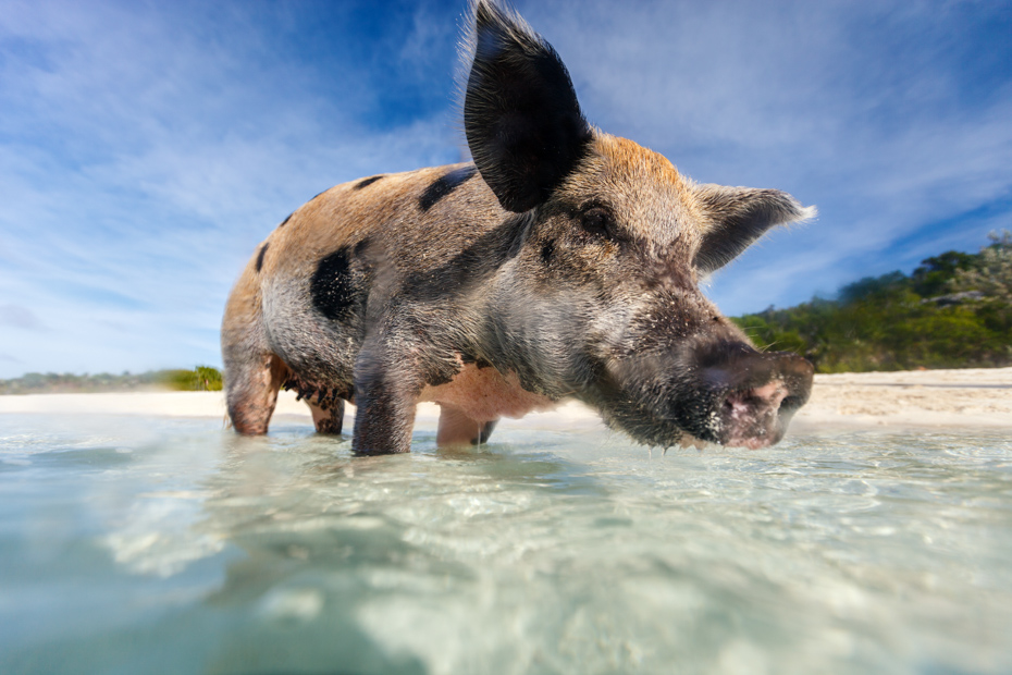 Exuma pig on Pigs Beach of Big Major Cay. See this Bahamas swimming pig on a Miami Excursion day trip to Bahamas by plane.