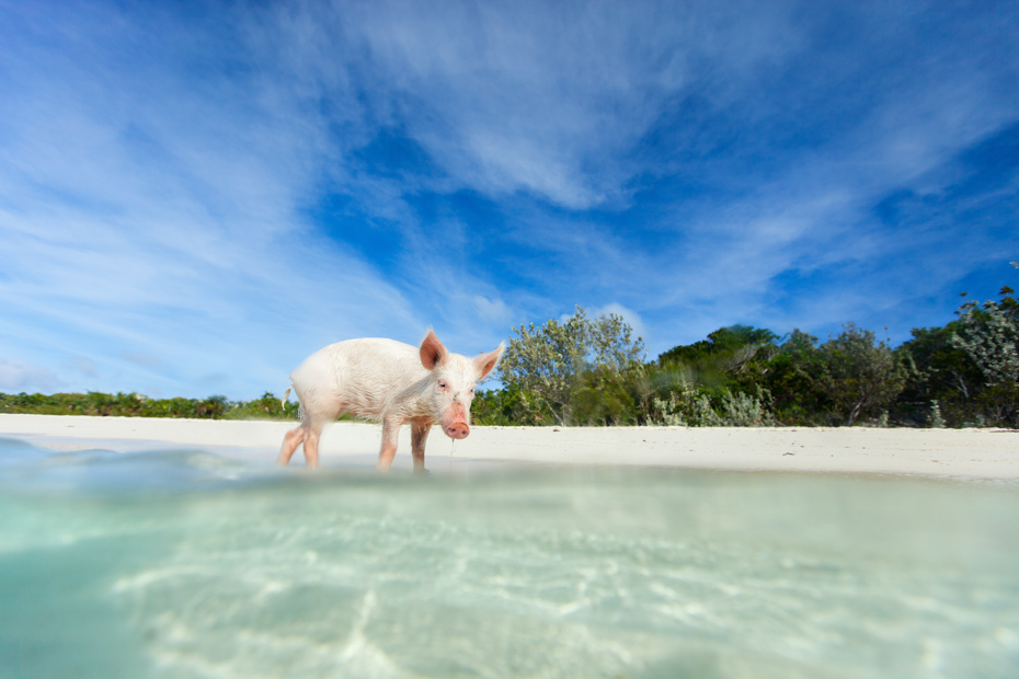 Little piglet in a water at beach on Exuma island Bahamas. The Miami excursions Bahamas Pigs Beach is one of the most popular Bahamas attractions attracting 6.62 million visiotrs in 2018.