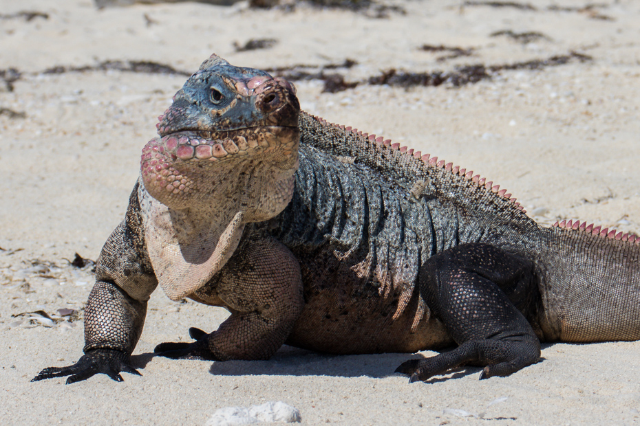 Bahamian Rock Iguanas are an endangered species. They live on Bitter Guana Cay and can be seen on a one day cruise from Fort Lauderdale to Bahamas day trip.