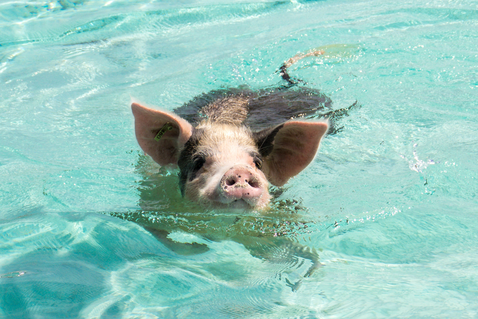 Wading crystal clear water in the Exumas. Take a one day trip to Bahamas and check out Pig Island on tours to Pig Beach.