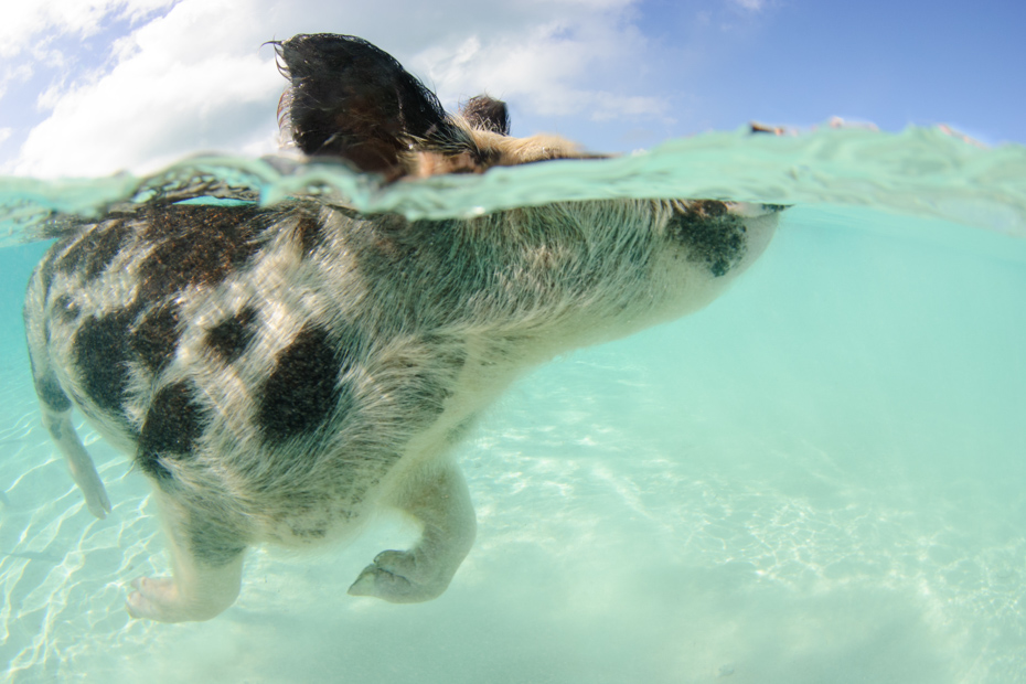 Exuma pig takes a swim through crystal waters. An Exuma tours route which leads to Pig Beach Bahamas tour.