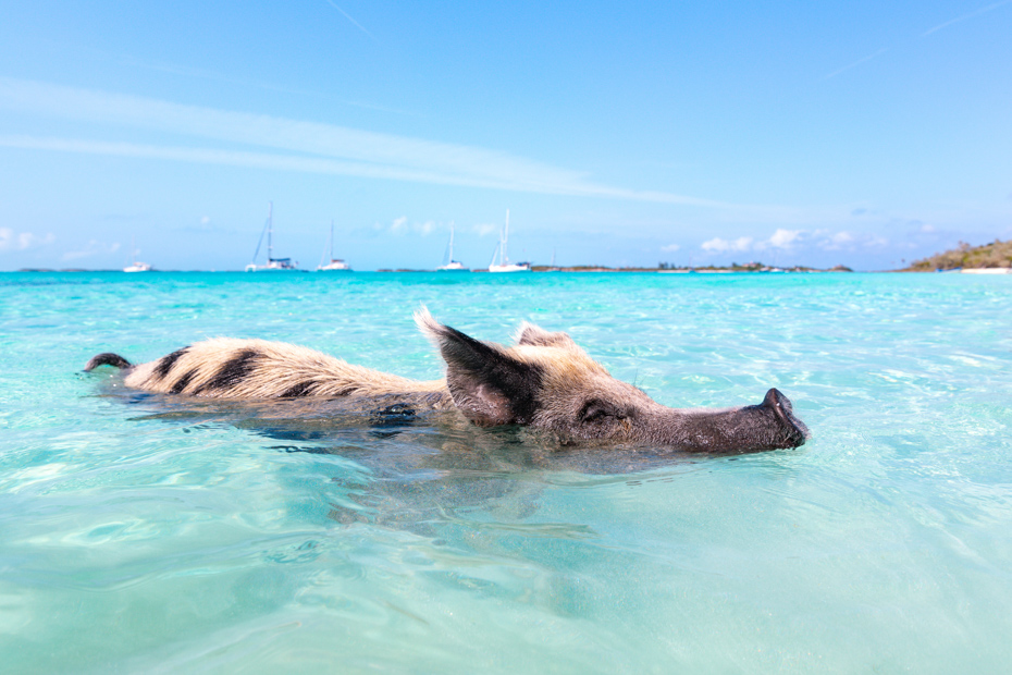 Visitors to the Bahamas take a Pig Beach Excursion from Nassau which is one of the best excursions in Bahamas.