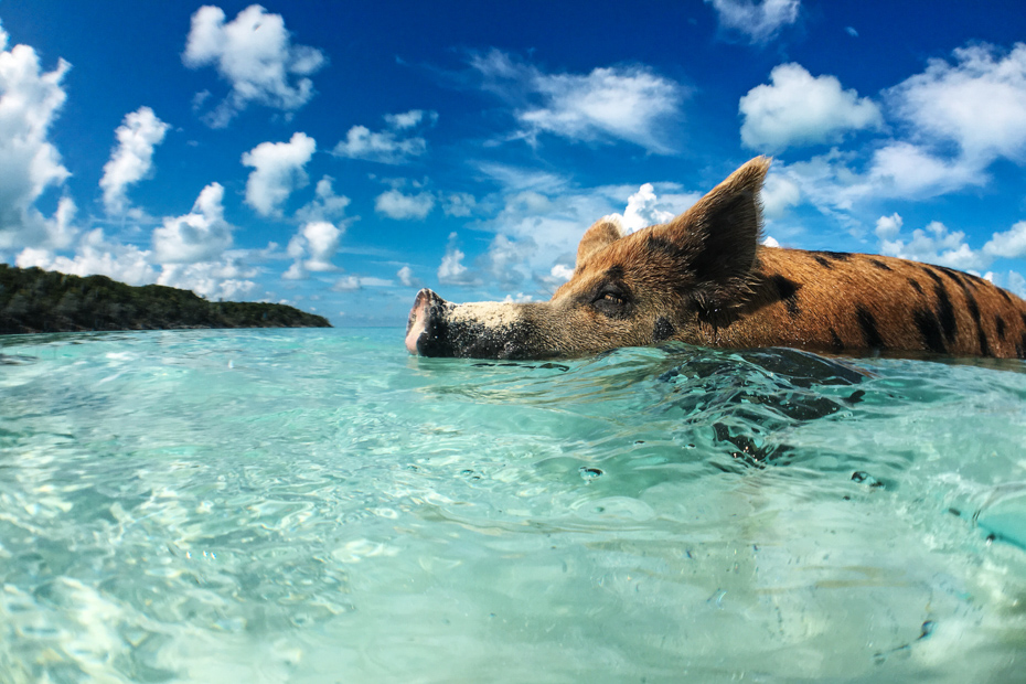 Swim with Pigs Nassau to Exuma Day Trip: Everything you need to Know