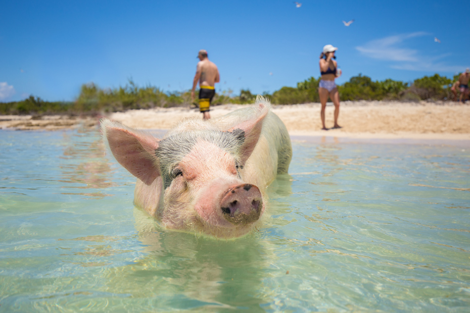 Adorable swimming pigs of Big Major Cay. Swim with pigs Nassau day trip to Bahamas Pig Island.