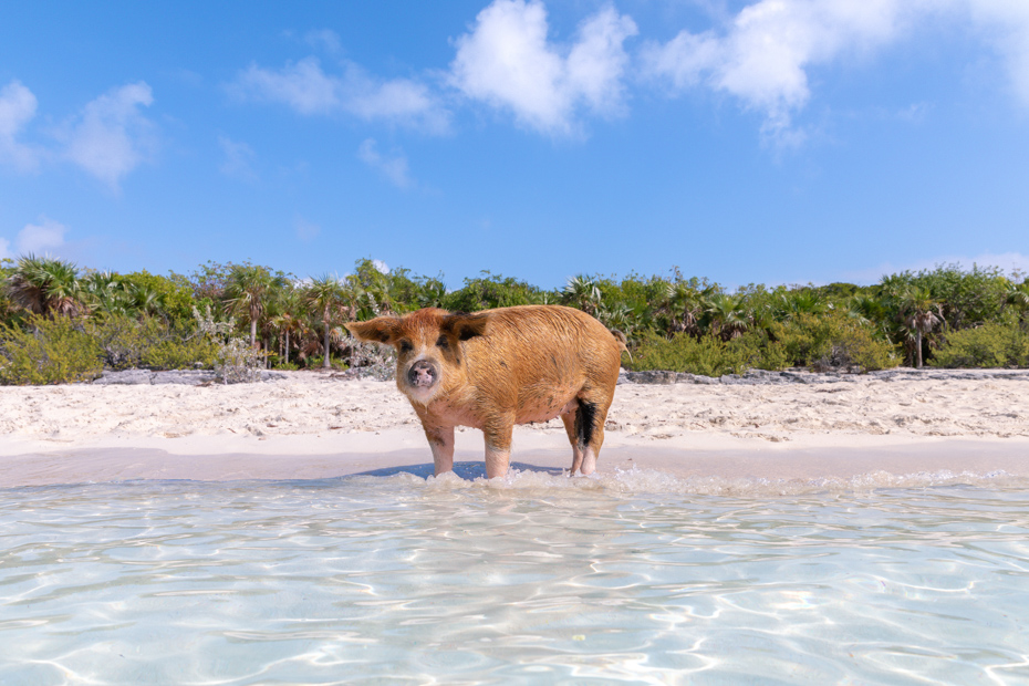 Exuma pigs wait for food to arrive on Big Major Cay. Tourists feed them when they go swimming with pigs on their Bahamas excursions.