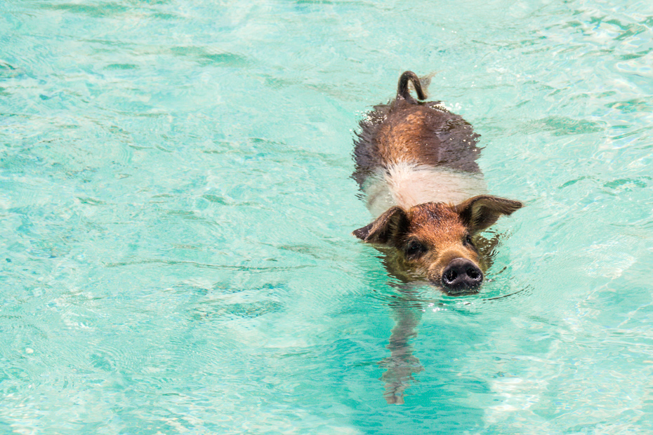 Learn proper Bahamas swimming pigs etiquette before your trip to Bahamas. There are counteless things to do in the Bahamas Pig Beach.