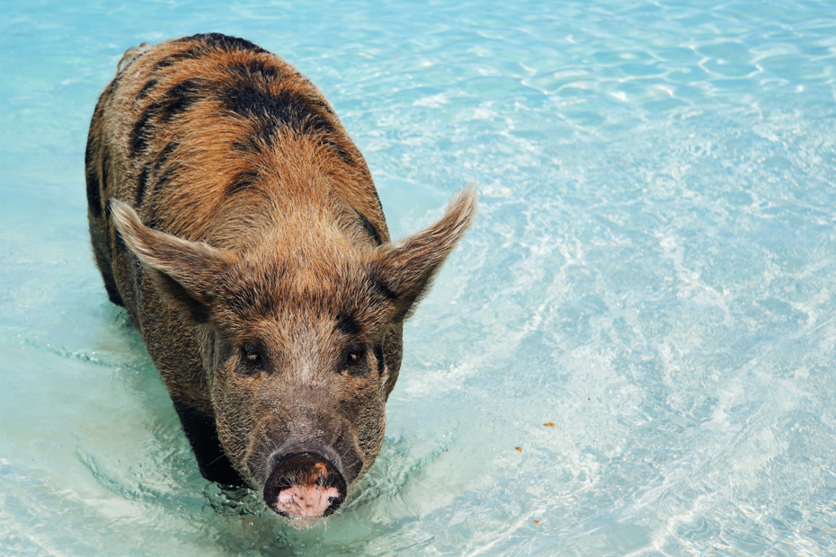 This pig looks hungry at Pig Beach! Trips to Bahamas from Fort Lauderdale start in the morning and leave Pig Island in the late afternoon.