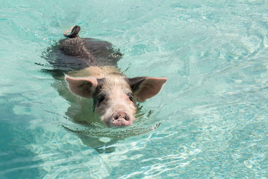 This Exuma pig is waiting for your visit to Pig Island. Shot at Big Major Cay -- one of the unique things to do in Orlando is a Bahamas day trip on tours to Pigs Beach.