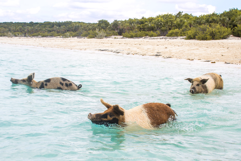 Visit the Bahamas Swimming Pigs at Pig Beach on the boat from Miami to Bahamas. Fly direct from Miami to Exuma to visit the Swimming Pigs island in Exuma Cays Bahamas.