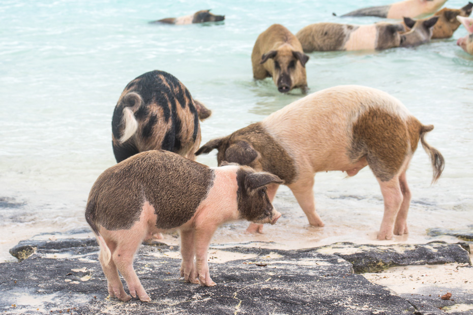 Exuma Pig Beach is on Pig Island - Big Major Cay - a small uninhabited island close to Staniel Cay Bahamas. Visit the Pig Beach Bahamas on a tour or nassau to exuma day trip by plane with Bahamas air tours.