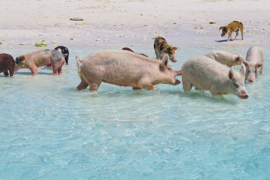 How to get to exuma bahamas Swimming Pigs at Staniel Cay Exuma. How far is exuma from Nassau? 30 minute flight from Nassau to Exuma, Staniel Cay, gateway for visiting Big Major Cay - the Pig beach (Swimming Pigs Island)