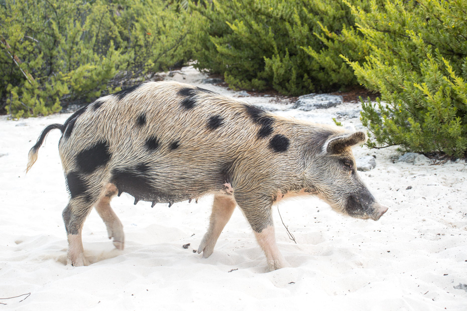 How to get to Pig Island Bahamas? Fly to Staniel Cay Airport in Exuma from Nassau or Miami with Bahamas Air Tours. Staniel Cay is the closest airstrip to Big Major Cay also known as Pig Beach and Pig Island