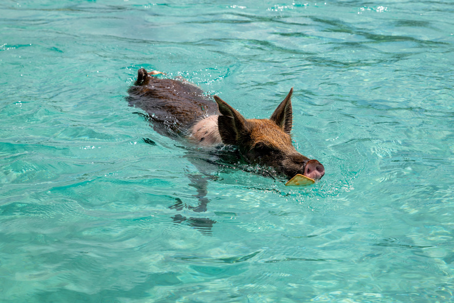 Nassau Bahamas Pig Beach tours to the Swimming Pigs island, Big Major Cay in exumas are the best Nassau Day Trips. Fly to Pig Beach and go swimming with Pigs on a Bahamas Air Tour.