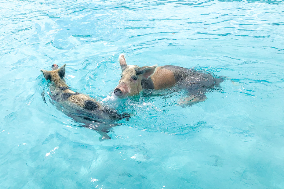 Pig Island Bahamas Swimming Pigs Island at Big Major Cay in Exuma Bahamas. Take a Pig island tour from Nassau or Miami and discover the Swimming Pigs Exuma!