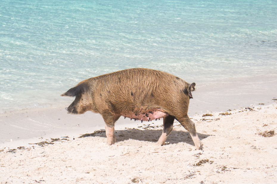 Places to stay in Exuma Pigs are one of the top things to do in Bahamas and can be visited at Pig Beach, close to Staniel Cay. There are many Staniel Cay accommodations to choose from and Exuma Hotels close to Swimming Pigs island
