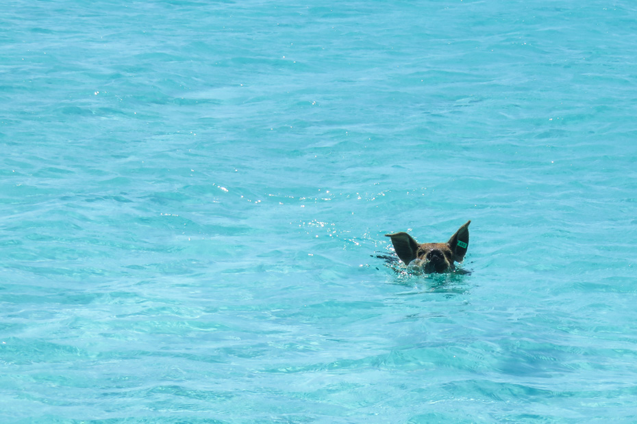 Staniel Cay Pigs are swimming pigs exuma that live on the island with pigs. Big Major Cay is Swimming Pig Island and located in the Exuma Cays. THe island of Staniel Cay where the pigs originate from has the clossest airport. Fly from Nassau to Staniel Cay Pigs with Bahamas Air Tours.