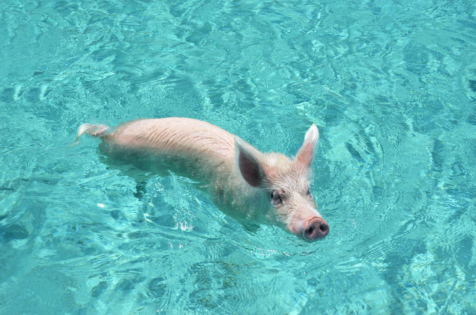 Swim with Pigs Excursion & Day Trips in the Bahamas