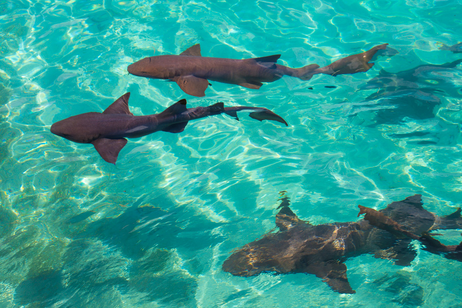 Swim with Pigs excursions to go swimming with Sharks at Compass Cay Bahamas. Swim with Sharks (nurse sharks) on a day trip to pig island Bahamas with Bahamas Air Tours from Nassau or Miami.