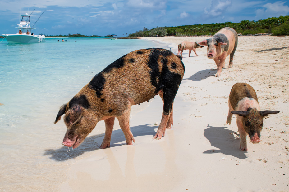 Swim with the pigs excursion at Pig Beach, Big Major Cay Island. The Swimming Pigs island, home to the official Exuma Pigs, is a small island in Exuma Cays close to Staniel Cay. FLy direct to the Bahamas Swimming Pigs with Bahamas Air Tours.
