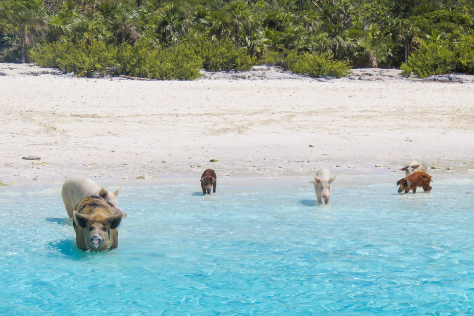 Swimming Pigs Island Bahamas in Exuma. Take a day trip from Nassau to Exuma or Miami to Staniel Cay and visit the famous Swimming Pigs Island and Pig Beach Bahamas