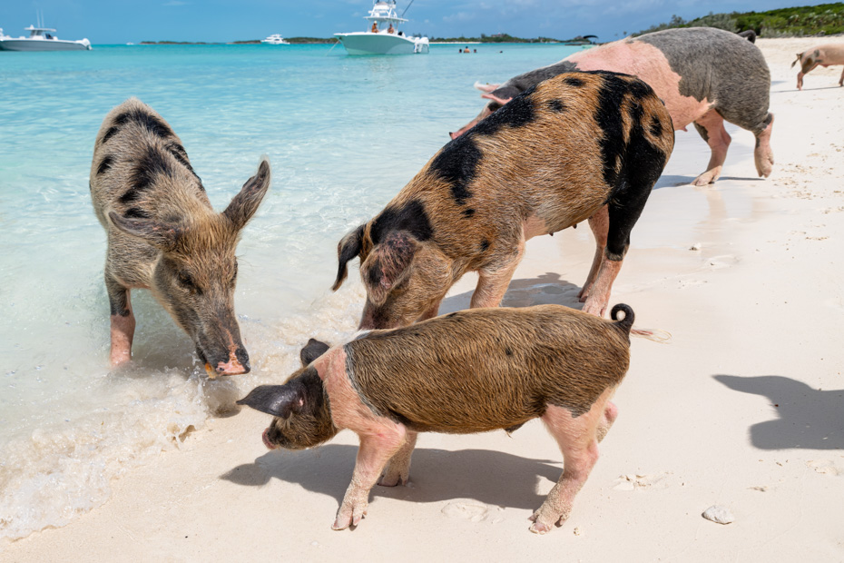 Things to do in nassau bahamas port - the Bahamas Swimming Pigs at Pig Beach, Big Bajor Cay island in the Exuma Cays. Take a Nassau to Exuma Day Trip with Bahamas Air Tours and fly on a day excursion to go swimming with pigs at pig beach bahamas.
