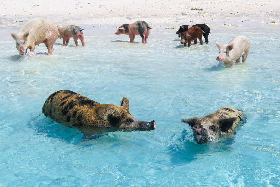 best place to go in the bahamas is Pig Beach and the Bahamas swimming pigs. Fly to Pig Island at Staniel Cay with Bahamas Air Tours and take the ultimate Swimming Pigs Tours.