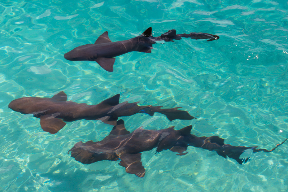 Exuma Sharks in Bahamas are types of Nurse Shark that live at Compass Cay and Staniel Cay. Where you can go swimming with Sharks Bahamas at Compass Cay Marina.