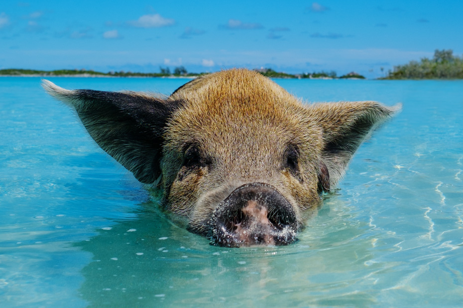 Nassau Bahamas Swim with Pigs in Exuma on a tour to pig island from Nassau. Wondering where can you swim with pigs? Then visit Pig BEach Bahamas - Big Major Cay - a small island next door to staniel cay in Exuma Bahamas.