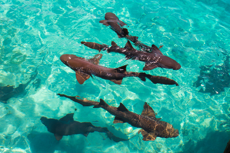 Nassau to Pig Beach is a short flight away. When arriving in Exuma, aswell as the Bahamas Swimming Pigs you can also go Bahamas Swimming with Sharks at nearby Compass Cay Exuma. Alongside this the Nassau Bahamas Swim with Pigs tours are the best way to visit pig island from Nassau