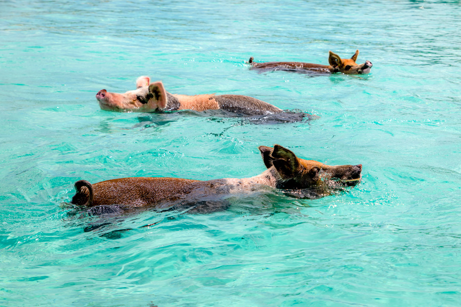 Pig Beach Nassau Excursions to visit the Swimming Pigs