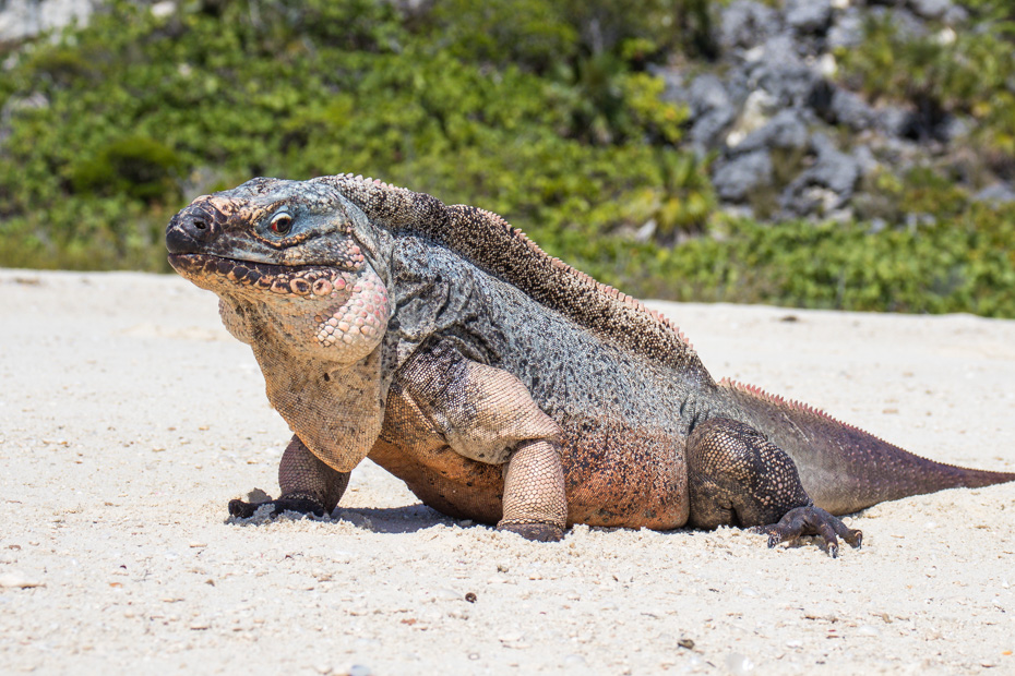 Pig Island from Nassau is also a brilliant way to visit the Bahamian Rock Iguanas at Bitter Guana Cay Exuma, close to Staniel Cay. There are many things to do on a Nassau to Pig BEach excursions including the nassau bahamas swim with pigs tours by plane.