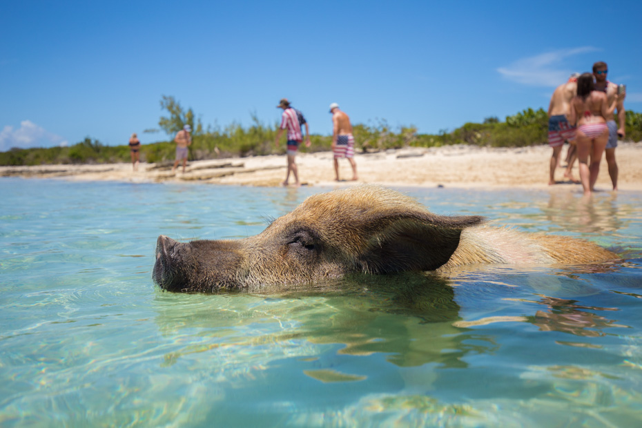 Where can you swim with pigs bahamas? A small island called Pig Island, Big Major Cay. Visit the Swimming Pigs Beach from nassau bahamas swim with pigs tours. Nassau to Pig Island is only a short plane ride away.