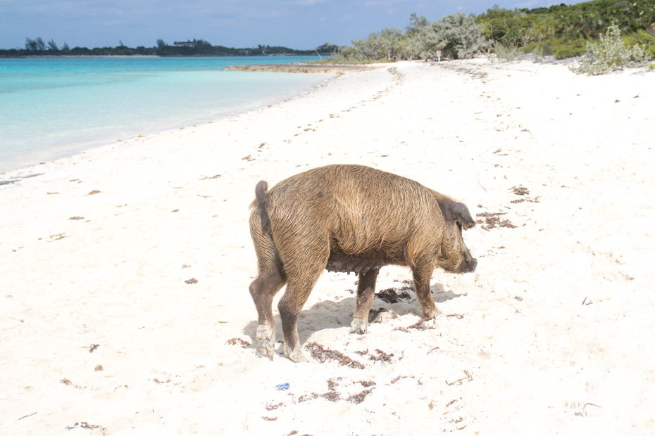 Where is Pig Beach Bahamas? on Big Major Cay, a small island in the Bahamas Exuma Cays. Pig Island is home to the Bahamas Swimming Pigs and it is easy on how to get to pig beach. Take a Pig Beach Nassau to Pig Island excursions.