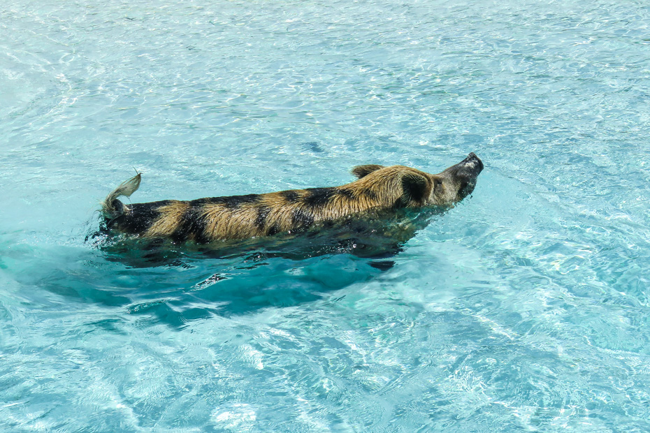 Exuma Day Trip from Nassau to Pig Island - Big Major Cay - is the official home of the Bahamas Swimming Pigs. Take an Exuma Pigs tour with Bahamas Air Tours and fly from Nassau to Exuma Day Trip and visit the exuma pig beach.