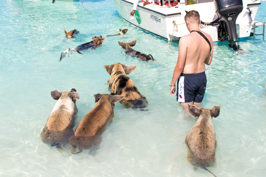 Pig Beach excursion from Nassau Bahamas, best excursions in Nassau. Fly with Bahamas Air Tours to Pig Beach (Big Major Cay) at Staniel Cay in the Exuma Cays. A swim with the pigs excursion is one of the best things to do in Nassau Bahamas.