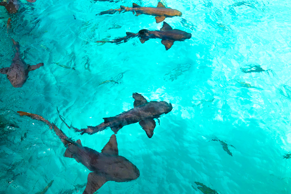 Best things to do in south beach Miami swimming with sharks at compass cay in the Exuma islands on a fabulous Miami to Bahamas Day Trip from Miami Beach Florida