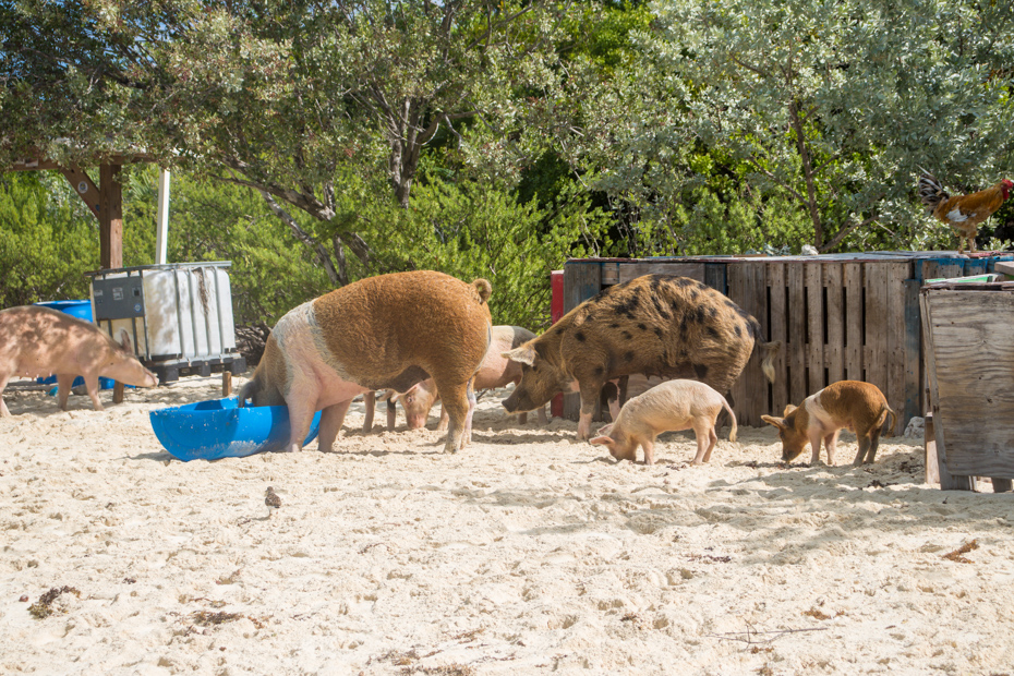 Big Major Cay, Bahamas swimming pigs. Get cozy with the pigs in the Bahamas at Pig Island on Pig Beach.