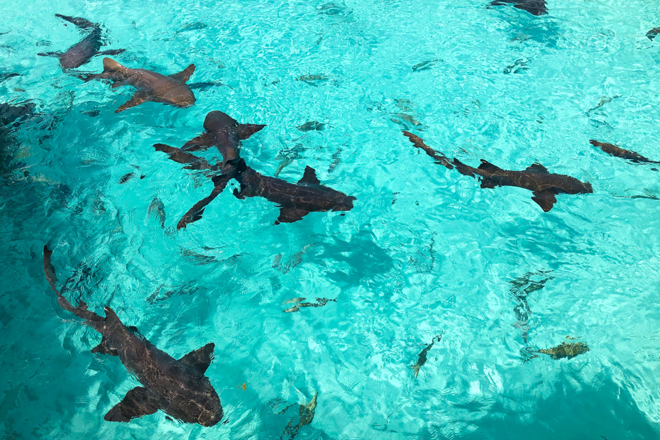 The Bahamas sharks at Compass Cay Marina are a crowd favorite! See them on a Bahamas day trip in addition to the Exuma Pigs in the Bahamas at Pig Beach on Pig Island.